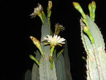 Cactus  flowers  night №8853