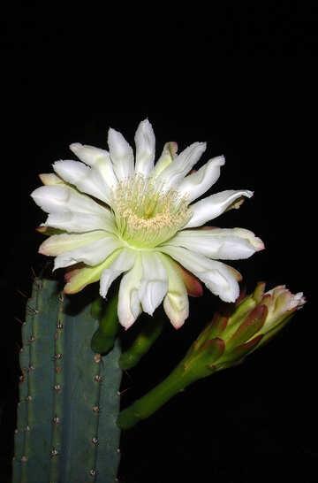 Flower  cactus №8850