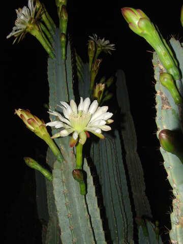Flowers  cactus №8849