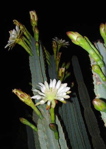 Flowers  cactus №8865