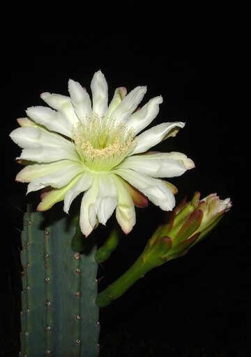 Large  flower  cactus №8856