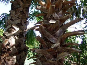Trunk  palm №8461