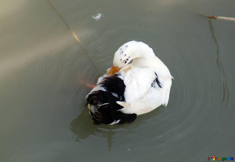Duck №8616