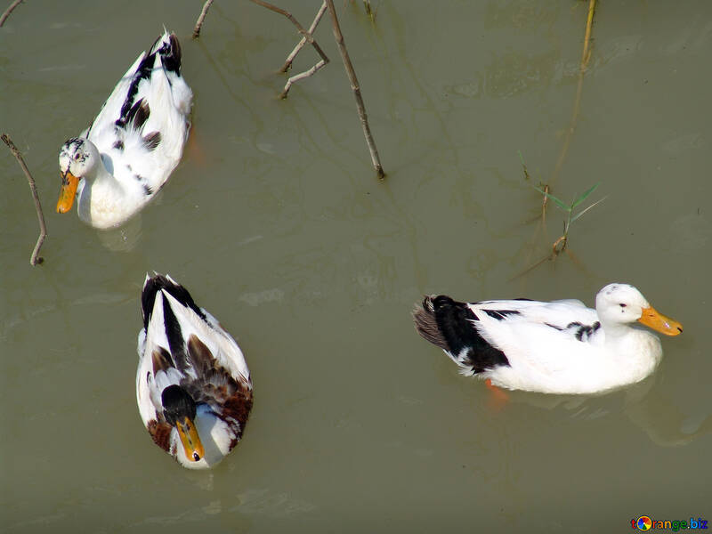 Ducks  float  on  Water №8612