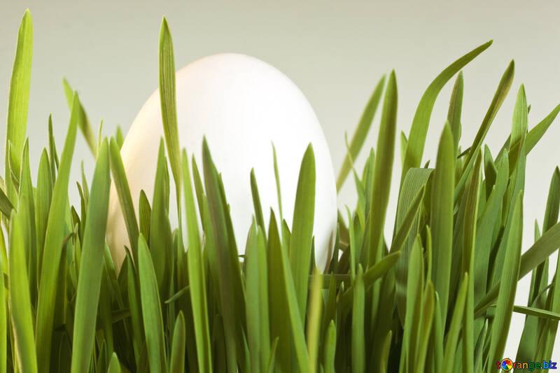 White  Egg   grass. №8185
