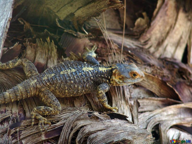 Lizard,  bark,  palm. №8760