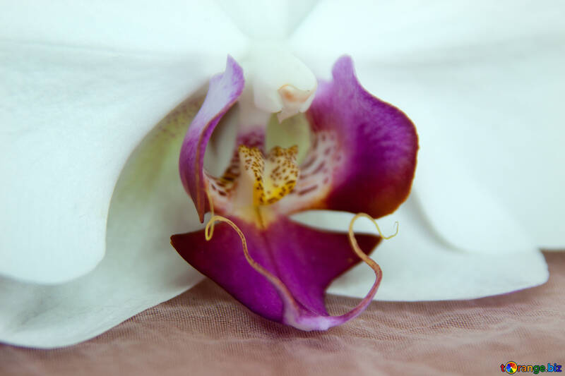 Fiore  orchidee.  Macro. №8965