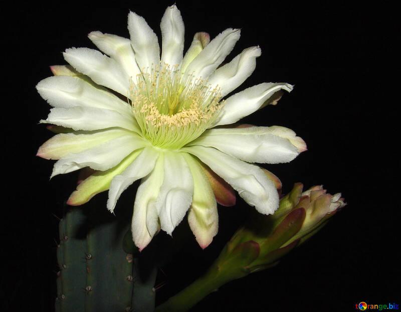 Cactus.  Flower. №8859