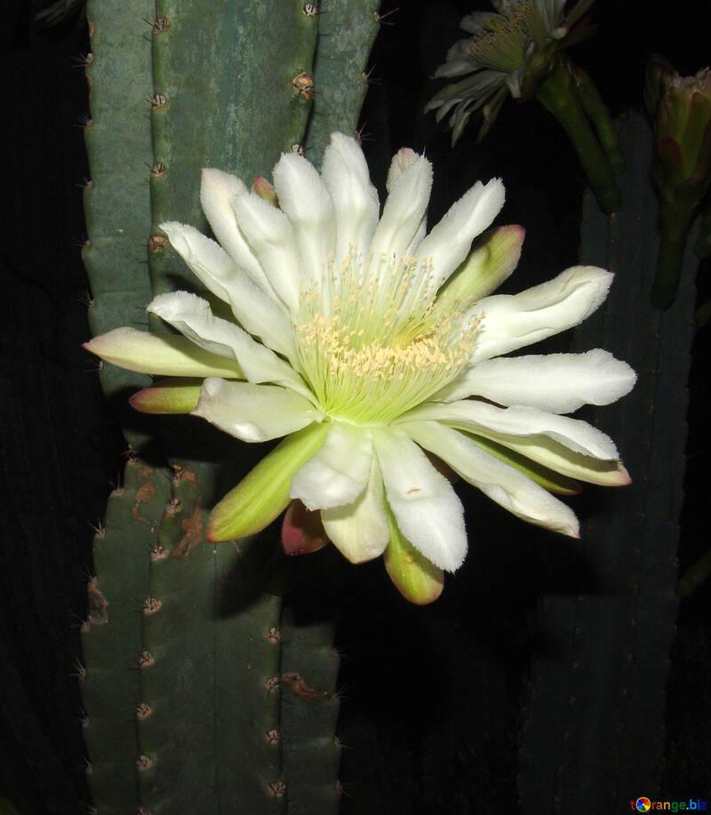 Flower  cactus №8848