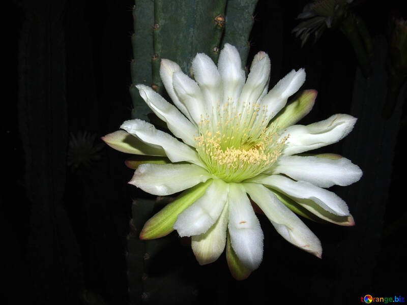 Flower  cactus №8864
