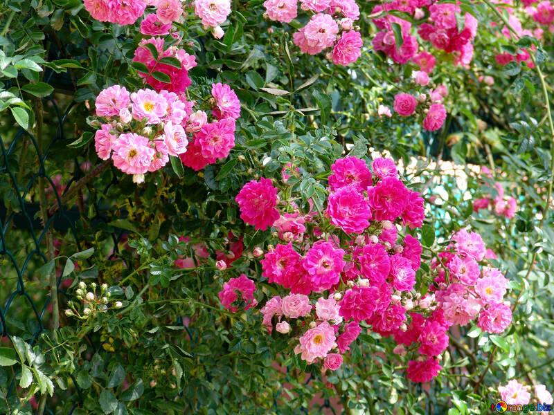 Вьющаяся роза №8444