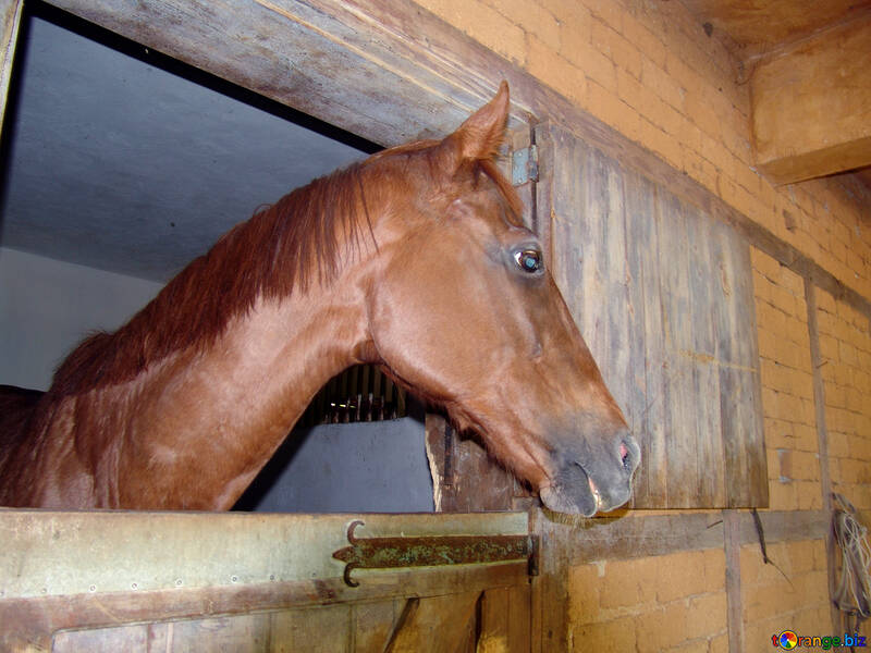 Muzzle  Horses №8474