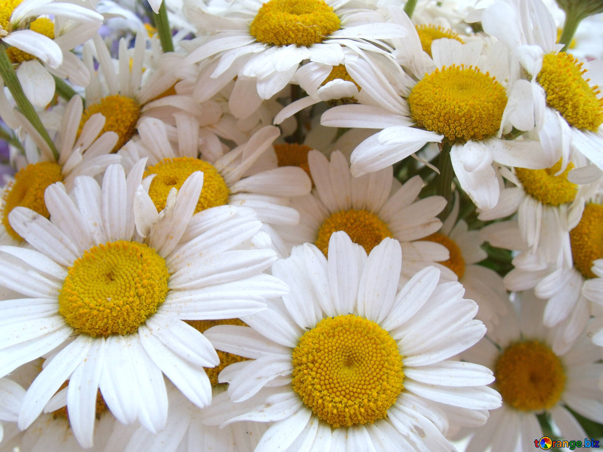Chamomile flowers daisies flower 9807 download free image daisies in hd wallpaper size 1920px izmirmasajfo