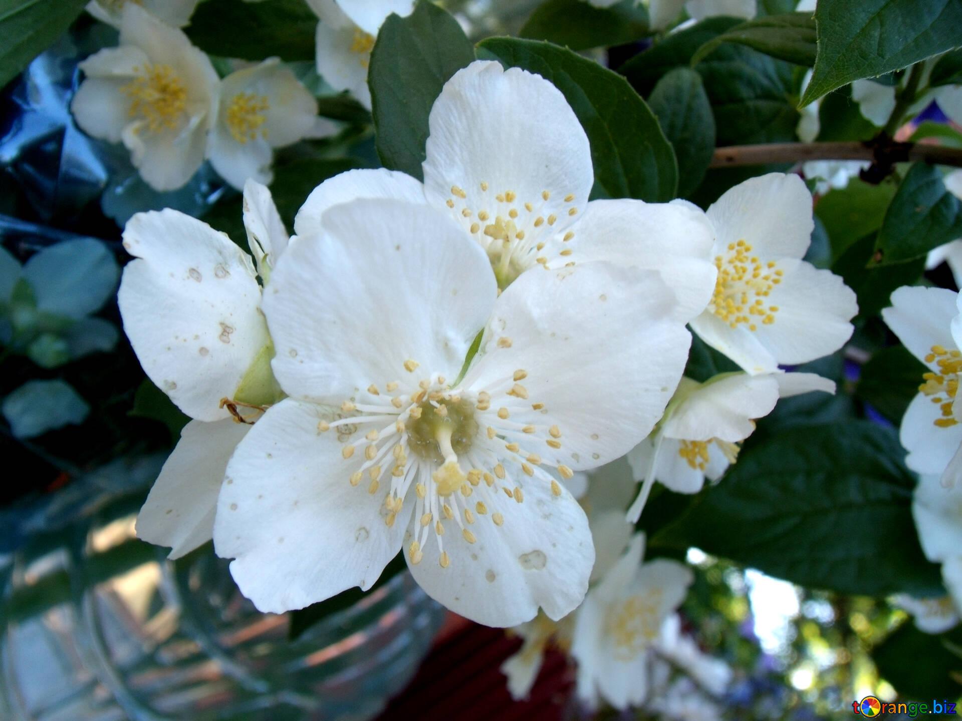 Жасмин цветок открытка
