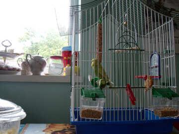 Wavy  parrot   №9956