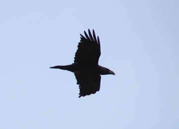 Crow №9663