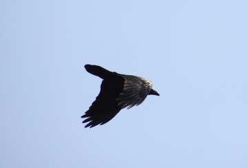Flight  Crows №9662
