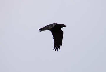 Raven  in  sky №9661