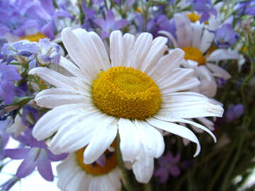 Blumenstrauß    Gänseblümchen №9799
