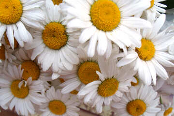 Garden  chamomile. Bouquet. №9793