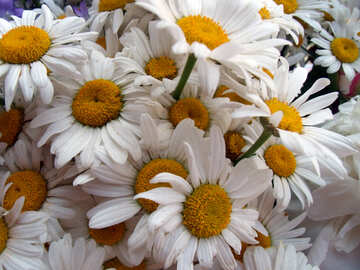 Bouquet  large  daisies. №9753