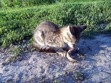 Katze  essen Sie  Leben  Fische №9493
