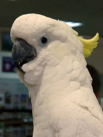 Cockatoo №9460