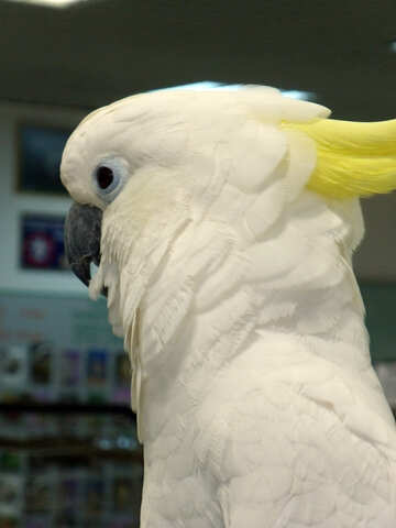 White  cockatoo №9457