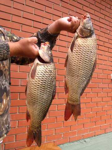 Large  carp №9289