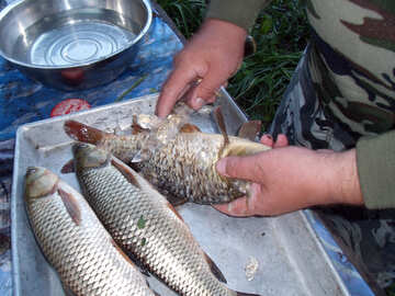 Cleaning  grass  carp №9274
