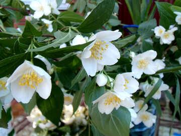 Flowers  Jasmine №9795