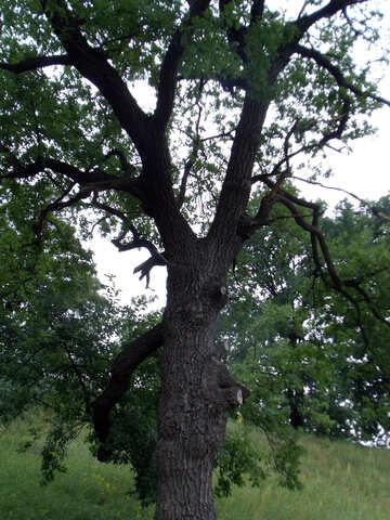 Oak №9641