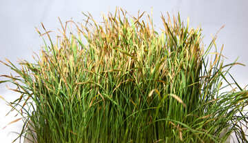 Dried  grass №9190