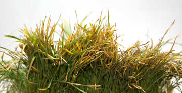 Grass  withered №9189