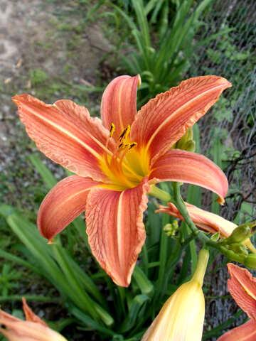 Blume  Lilie.  Tapeten  für  Schreibtisch   №9774