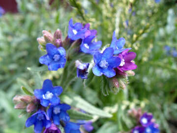 Flowers  lungwort №9759