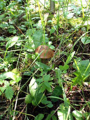 Mushroom    Forest №9393