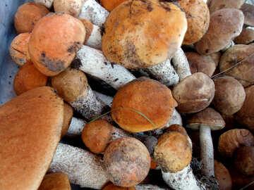 Mushrooms   Orange  hats №9427