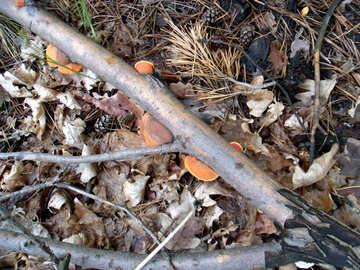 Mushrooms  at  branches №9655