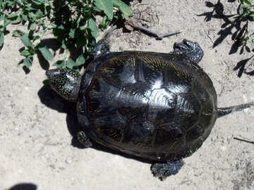 Freshwater  turtle  №9296