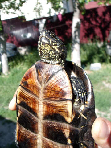 Roth  turtle №9299