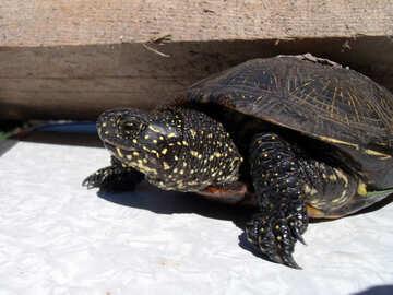 Schildkröte  und  Brett №9309