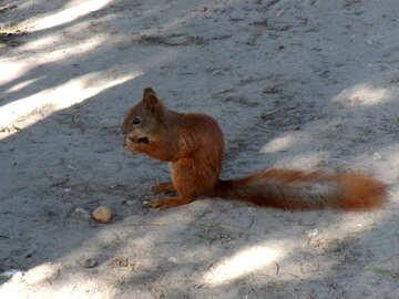 Eichhörnchen №9998