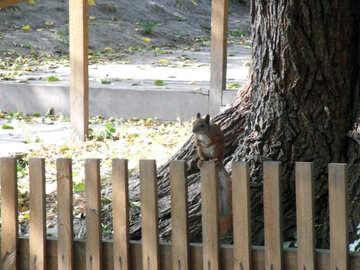 Eichhörnchen  an  Zaun №9982