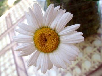Daisy.  Texture. №9769