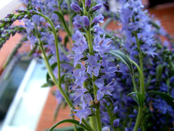 Flower  Veronica №9742