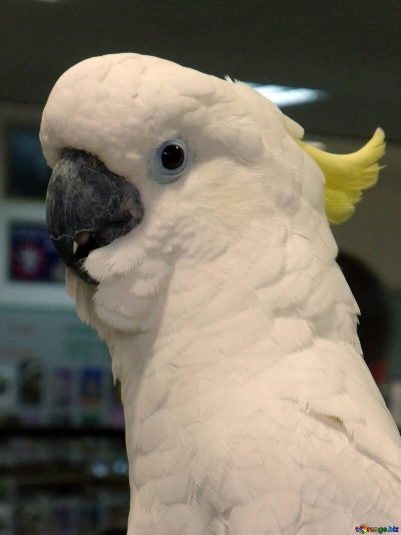 Cockatoo №9460