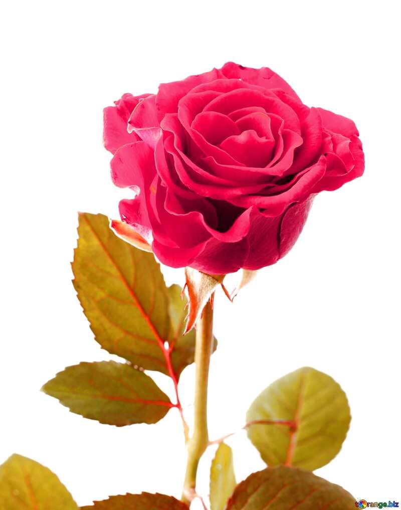 Pastel colors. Beautiful rose. №17040