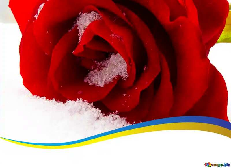 red rose on snow blank card template №16947