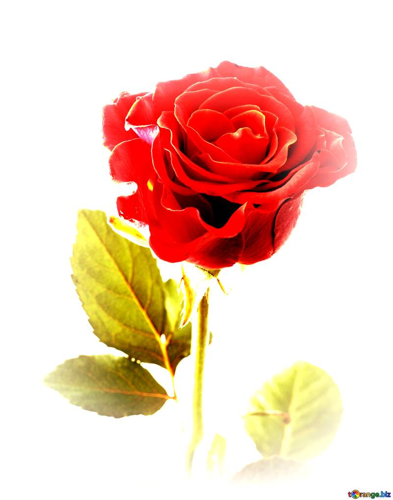 Beautiful rose flower №17040